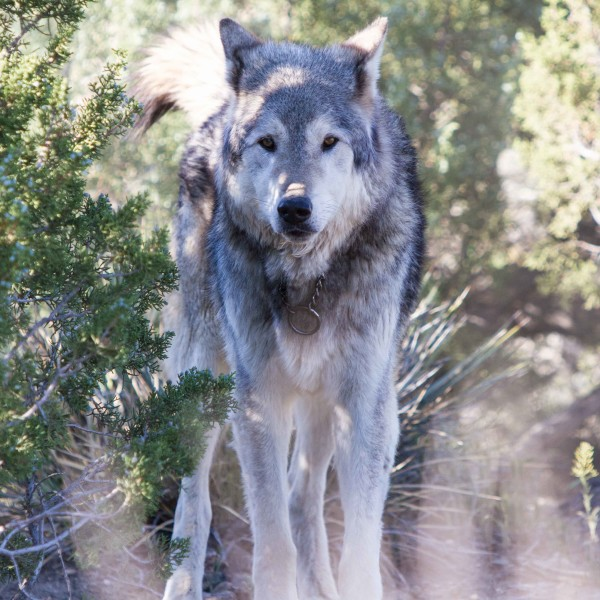 Wolf-Conection-March2015-7236-e1438552273785-600x600