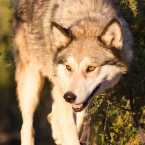 Wolf-Conection-March2015-7622-cropped-600x600