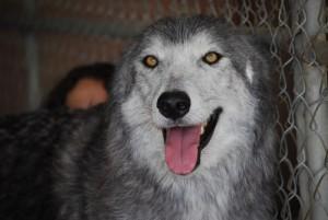 WolfConnectionsMiko
