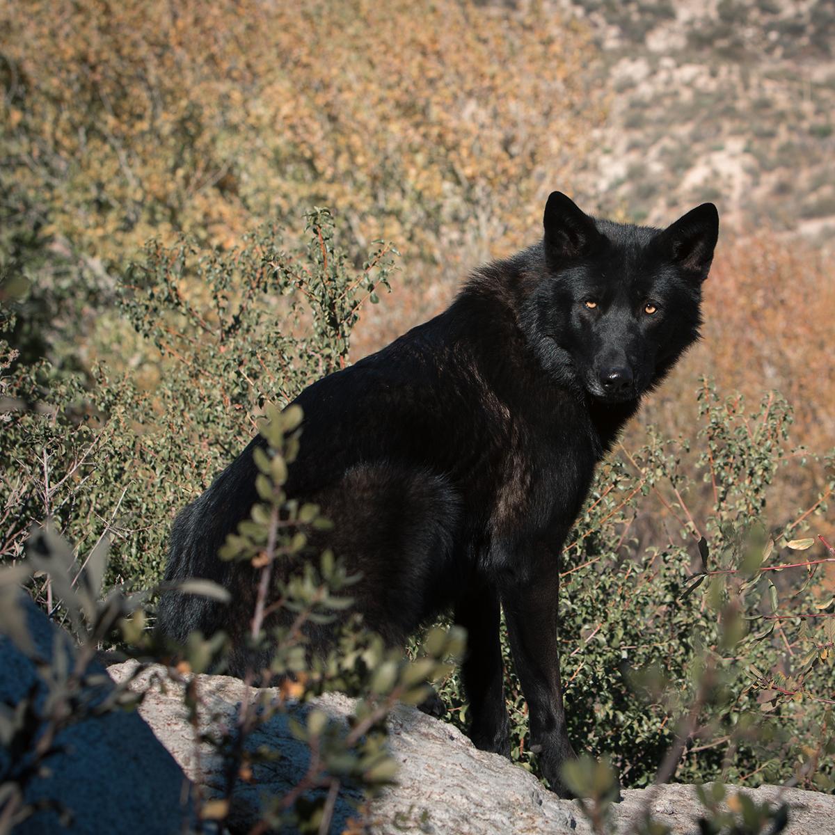 Wolf Gemma